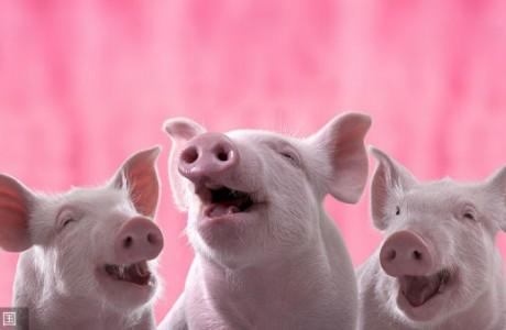 猪价年底涨还是跌?官方发话!马上见分晓!