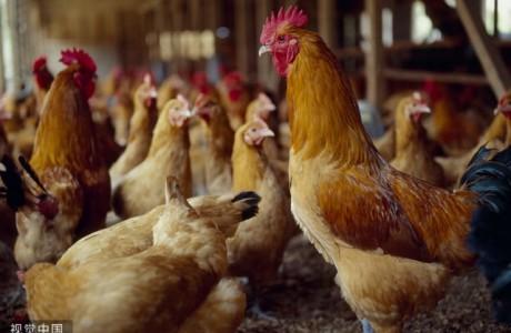央视曝光!某市场鸡肉价格猛跌30%!原因是这个!