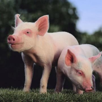 颤抖!猪肉供应国增至20!加拿大趁机对华猪肉出口涨60% 还要涨!