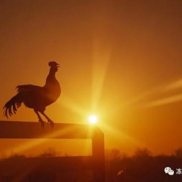 鸡产品已反弹!肉苗鸡价格暴涨63.15% 估计还得涨!